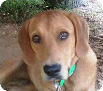 Redbone Coonhound Mix Dog for adoption in Plainfield, Connecticut - Rusty