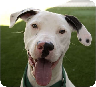 American Staffordshire Terrier Mix Dog for adoption in Sacramento, California - Cupid aka Coopie