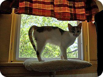 Oriental Cat for adoption in Cincinnati, Ohio - Reese: Madeira