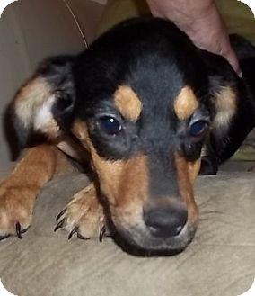 Beagle/Rottweiler Mix Puppy for adoption in Staunton, Virginia - Tocara