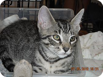 Domestic Shorthair Kitten for adoption in Riverside, Rhode Island - Mikey and Mickey