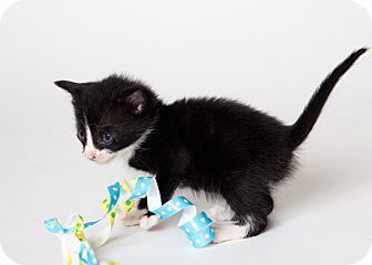 Domestic Shorthair Kitten for adoption in Rockaway, New Jersey - Zazzles