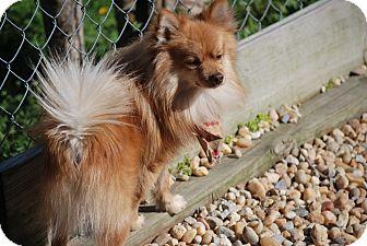 Pomeranian Dog for adoption in Montevallo, Alabama - Cowboy