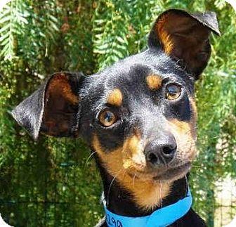 Miniature Pinscher Dog for adoption in Sacramento, California - Maximo