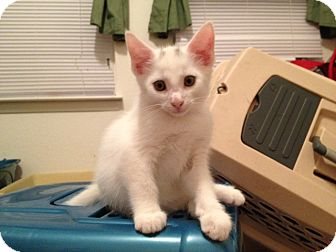 Domestic Mediumhair Kitten for adoption in Cary, North Carolina - Pork Chop