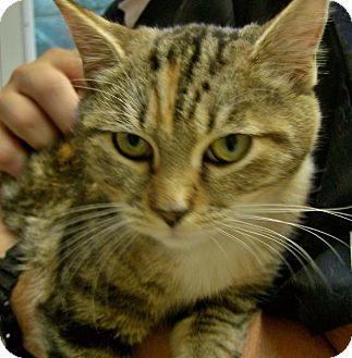 Domestic Shorthair Cat for adoption in Grants Pass, Oregon - Apple