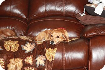 Dachshund Mix Dog for adoption in Homer, New York - Dottie