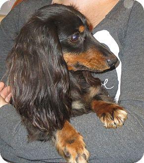 Dachshund Dog for adoption in Westport, Connecticut - Honey Bun