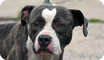 American Pit Bull Terrier Mix Dog for adoption in New Haven, Connecticut - PENELOPE
