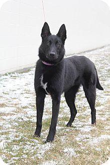 German Shepherd Dog Mix Dog for adoption in New Oxford, Pennsylvania - Ashling