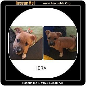 Labrador Retriever Mix Puppy for adoption in Saddle Brook, New Jersey - HERA