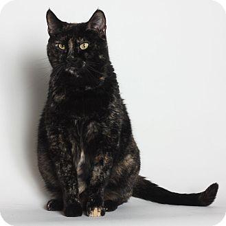 Domestic Shorthair Cat for adoption in Stockton, California - Sasha