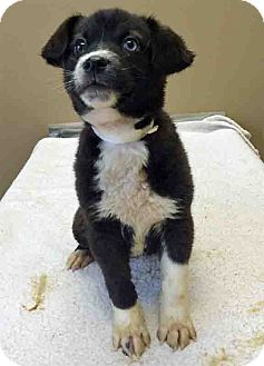 Labrador Retriever Mix Puppy for adoption in Gahanna, Ohio - ADOPTED!!!   Sansa
