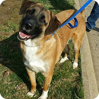 Belgian Malinois/Mastiff Mix Dog for adoption in Lisbon, Ohio - Rugby