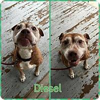 Adopt A Pet :: Diesel - bridgeport, CT