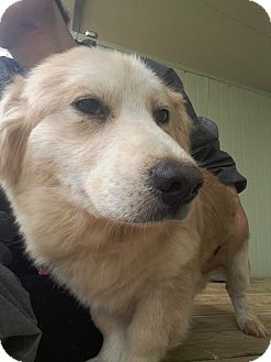 Golden Retriever/Corgi Mix Puppy for adoption in Oakton, Virginia - Nike