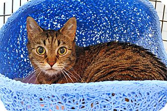 Domestic Shorthair Cat for adoption in Victor, New York - Anna