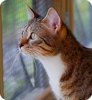 Domestic Shorthair Cat for adoption in Maynardville, Tennessee - Minnie