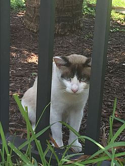 Snowshoe Cat for adoption in Sunny Isles Beach, Florida - Loki