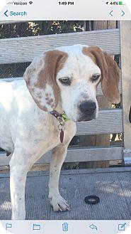 Beagle/Boxer Mix Dog for adoption in Harrisonburg, Virginia - Liberty  (ETAA)