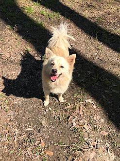American Eskimo Dog/Sheltie, Shetland Sheepdog Mix Dog for adoption in Baton Rouge, Louisiana - Brit