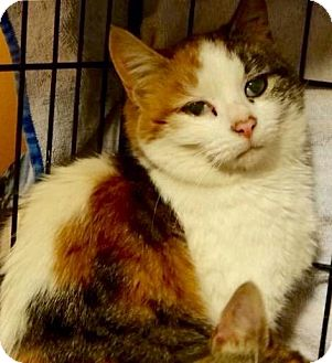 Domestic Shorthair Cat for adoption in Greensburg, Pennsylvania - Kali