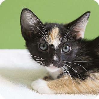 Domestic Shorthair Kitten for adoption in Houston, Texas - Stacey