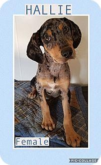 Catahoula Leopard Dog/Hound (Unknown Type) Mix Puppy for adoption in Manchester, Connecticut - Hallie-pending adoption