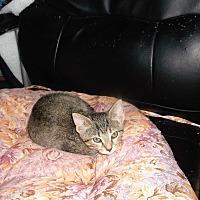 Domestic Shorthair Kitten for adoption in grove city, Ohio - baby luke