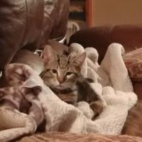 Adopt A Pet :: Abner - Mesa, AZ