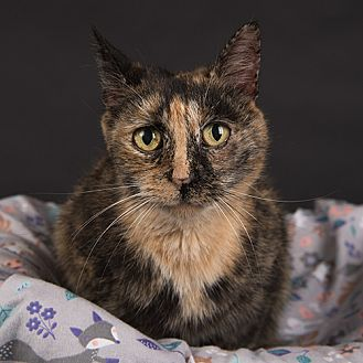 Domestic Shorthair Cat for adoption in Wilmington, Delaware - Kitty