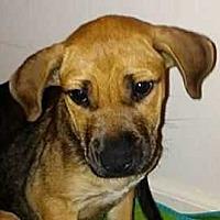 Mastiff Puppy for adoption in Boston, Massachusetts - Olympia Wonder