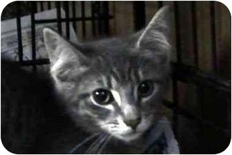 Domestic Shorthair Kitten for adoption in Syracuse, New York - Aragon