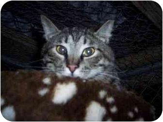 Domestic Shorthair Cat for adoption in Medina, Ohio - John