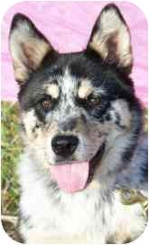Australian Cattle Dog Mix Puppy for adoption in Meadow Lake, Saskatchewan - Jess