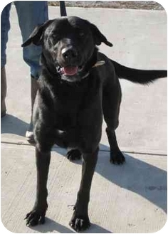 Labrador Retriever Mix Dog for adoption in Florence, Indiana - Blackjack