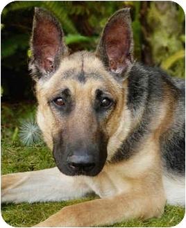 German Shepherd Dog Dog for adoption in Los Angeles, California - Leila von Carson
