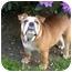 Photo 1 - English Bulldog Dog for adoption in Gilbert, Arizona - Daphne*adoption pending*