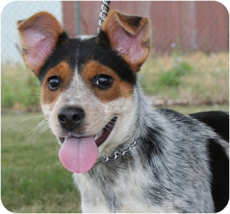 Australian Cattle Dog Mix Puppy for adoption in Shenandoah, Iowa - Sophie
