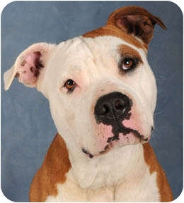 American Pit Bull Terrier Dog for adoption in Chicago, Illinois - Ezra