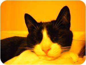 Domestic Shorthair Cat for adoption in Franklin, North Carolina - Gunny