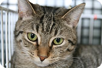 Domestic Shorthair Cat for adoption in Frederick, Maryland - Josie