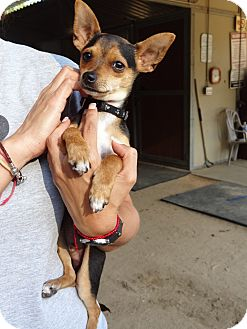 Miniature Pinscher Mix Puppy for adoption in Los Angeles, California - Buddy