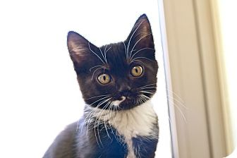 Domestic Shorthair Kitten for adoption in Coronado, California - Inney