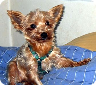 Yorkie, Yorkshire Terrier Mix Dog for adoption in Overland Park, Kansas - Captain
