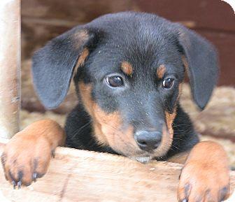 Australian Shepherd/Shepherd (Unknown Type) Mix Puppy for adoption in Poway, California - Triplets