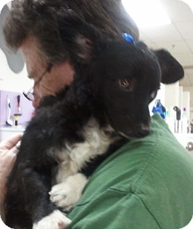 Dachshund/Papillon Mix Dog for adoption in Encinitas, California - Marcel