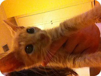 Domestic Shorthair Kitten for adoption in Davie, Florida - Cheeto