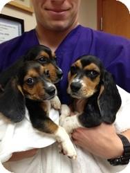 Beagle/Basset Hound Mix Puppy for adoption in Folsom, Louisiana - Beagle/Basset Puppies