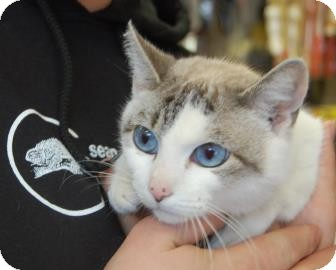 Siamese Cat for adoption in Brooklyn, New York - Sprinkles